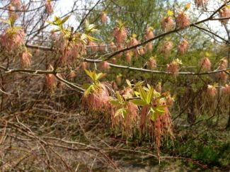 Frondy blossoms of Manitoba Maple (?) west of Grenadier Pond
