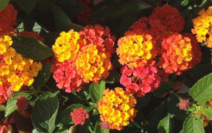 A personal favourite - Lantana. Oh, those colours!