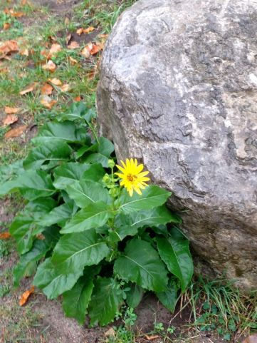 It had started to rain, and we had umbrellas, so we were fine with that. So was this hardy little fall flower.