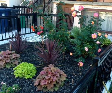 Pretty late roses in a sweet fall garden, on our walk home through Kensington Market area.
