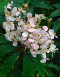 Allan Gardens - begonia detail