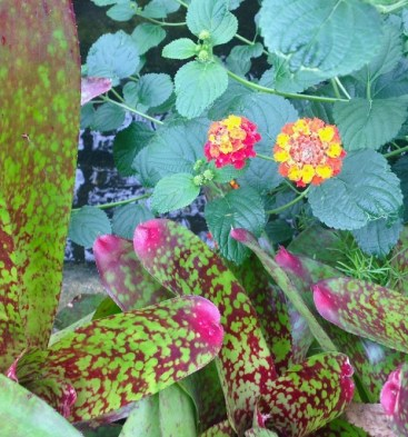 Allan Gardens - speckled leaves and my favourte, lantana