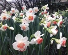 Allan Gardens - pretty white/peach daffodils!