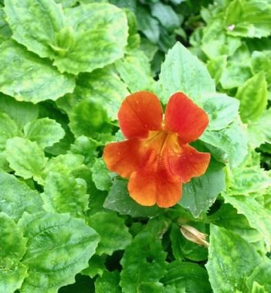 Allan Gardens - sweet orchid-like habit