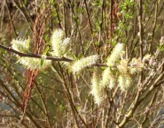 interesting catkins on the Don River