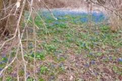 great little field of scylla