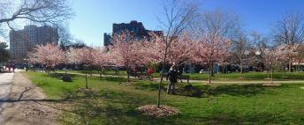 Whoa! lovely contrast against the sky: Trinity-Bellwoods Park cherry blossom time!