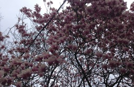 looking straight up, under a pretty magnolia, on the way up to subway