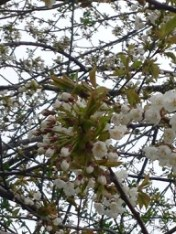 looking straight up into blooming fruit tree