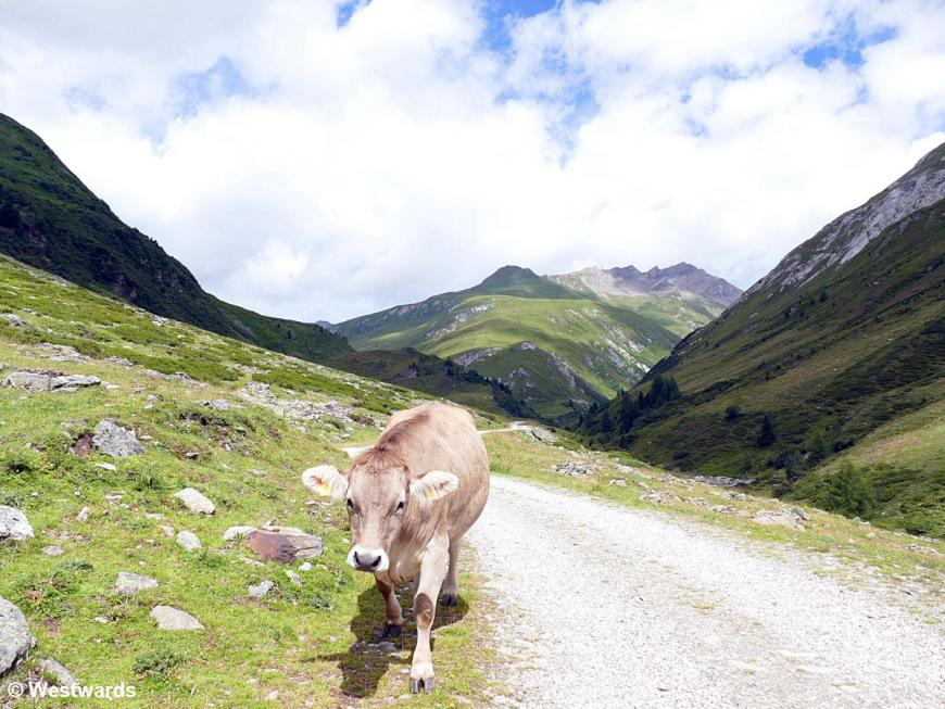 Cow on the path to the Jagdhausalmen