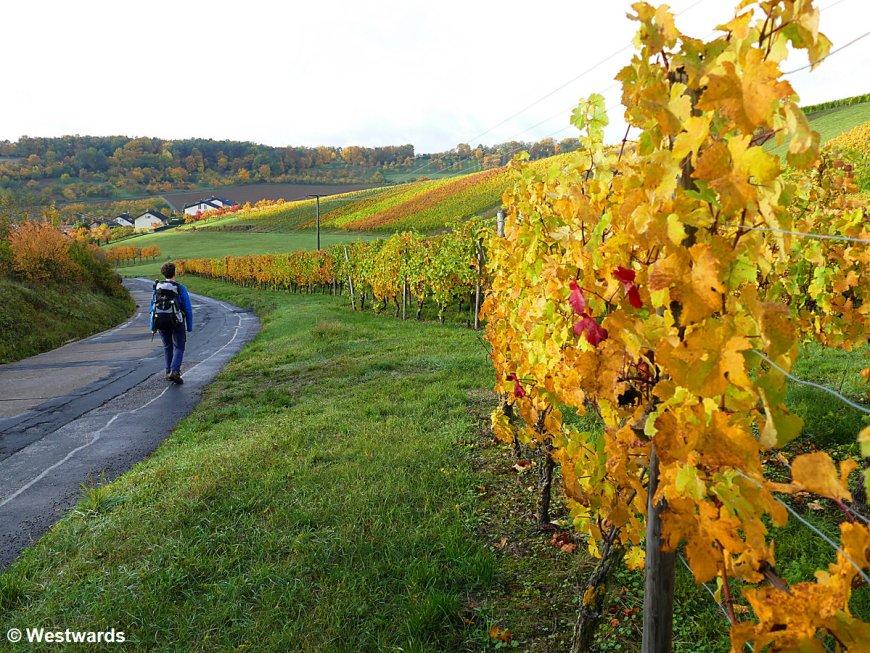 Hiker between vineyards