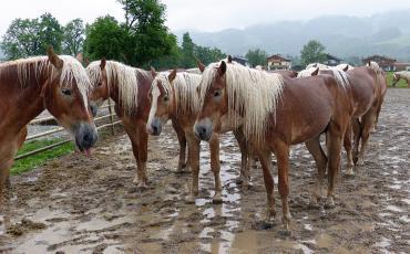 Wet Haflinger horses standing in the mud