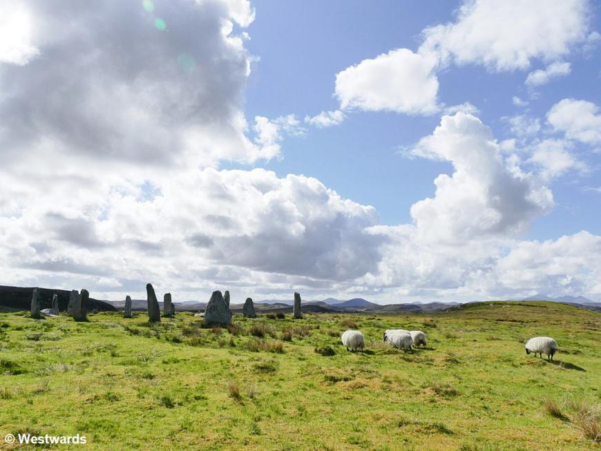 Sheep in front of the standing stones of Callanish