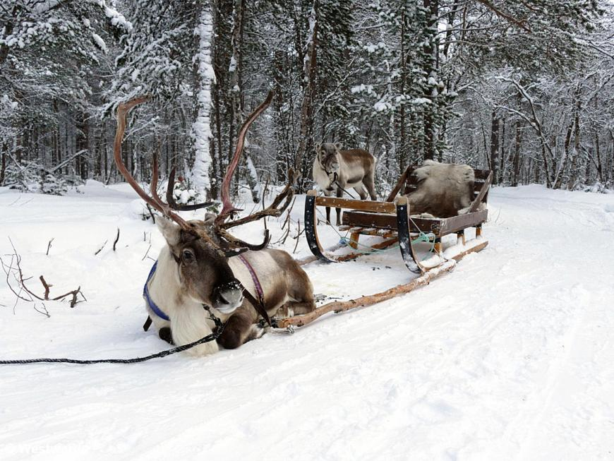 Reindeers with sledge in snowy landscape