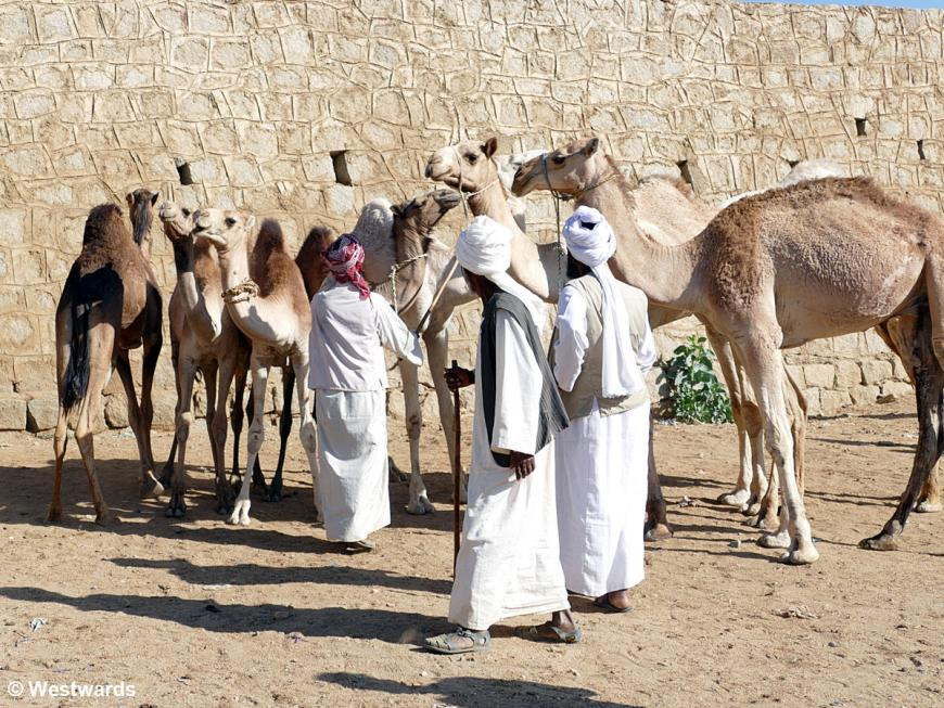 Men selling camels at the camel market in Keren, a highlight of travelling in Eritrea
