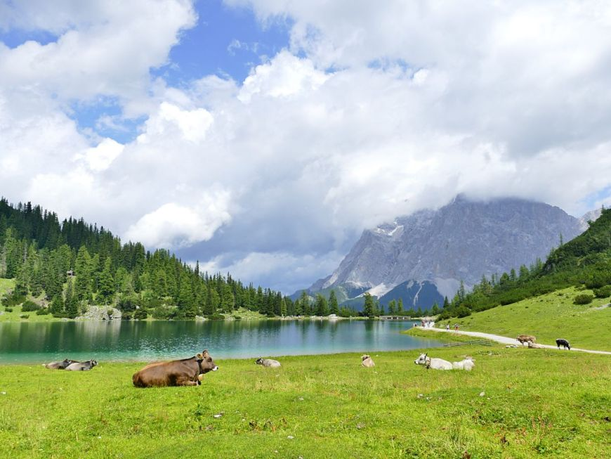 Seebensee with cows in Austria