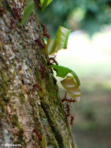 Leaf Cutter Ants in Panama Botanical Garden
