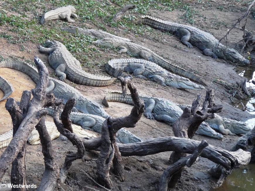 20081224 DT Amani crocodiles 1020321