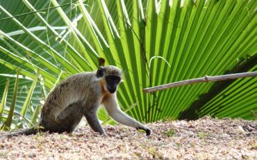 Vervet monkey in front of green leafes