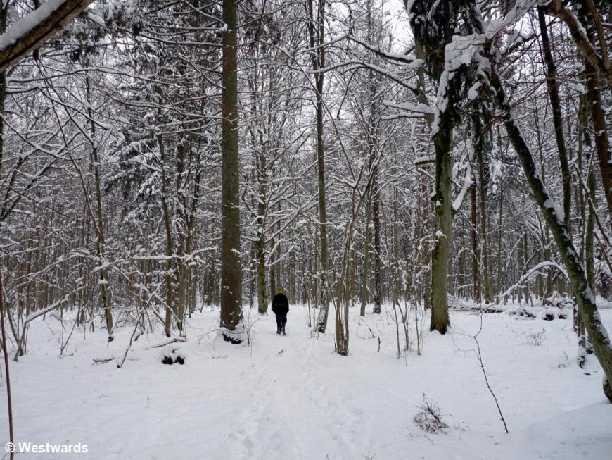 Bialowieca forest in deep snow