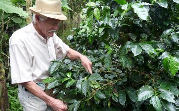Coffee farmer Don Elias picking coffee berries