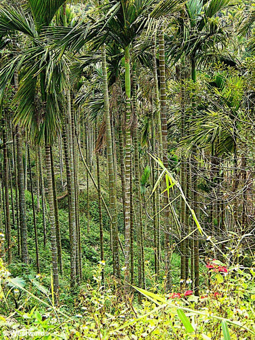 Palm trees of Guanziling, Taiwan