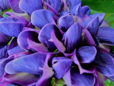 Purple Lupin_PH