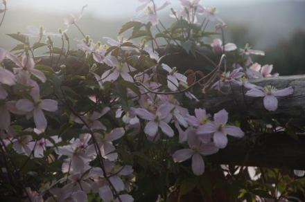 Clematis_ AMF