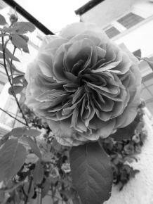 Rose_AFF
