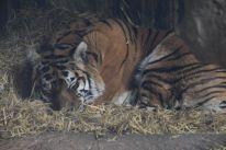 Sleeping Tiger - TF