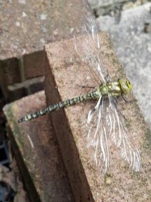 Dragonfly_TRF
