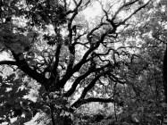 aff03-Oak
