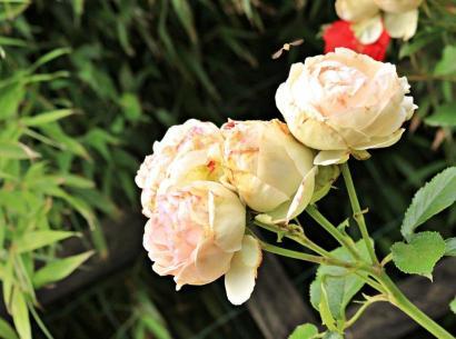 SB_Roses 1