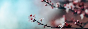 Cherry Blossoms 02