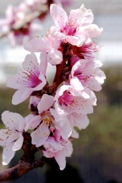 Bonefire Dwarf Flowering Peach