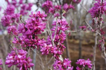 Purple Redbud