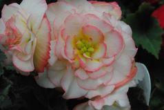 Rose Tuberous Begonia