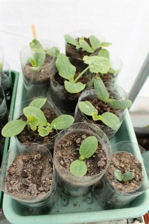 courgette seedlings in tonic bottles