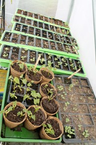 veg growing in the polytunnel in April