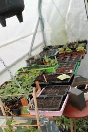 seedlings in polytunnel