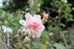 rose in the long border