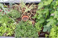 polytunnel herbs
