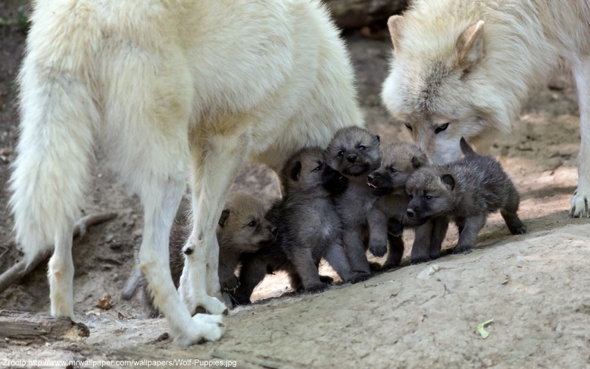 Wolf-Puppies-001