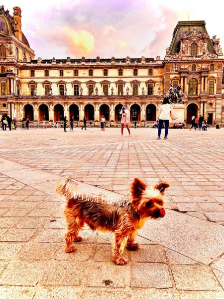 Yorkie Dog at the Louvre in Paris, France