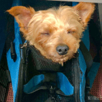 Flying with a Yorkie (EXCLUSIVE VIDEO)