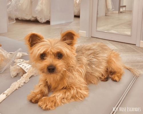 How to incorporate yorkies in a wedding
