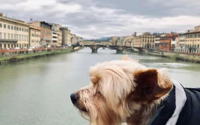 Life as a Florentine dog