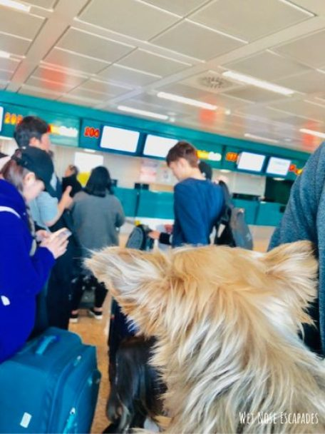 flying with a senior dog, checking in at the airport with dog