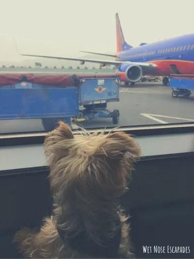 flying with a senior dog, test flight