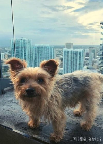 things to do with your dog in miami, dog at rooftop bar in miami